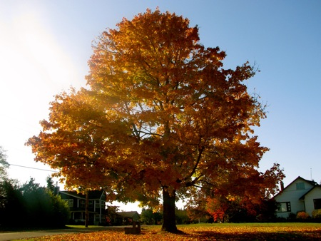 Maple Tree in Langley