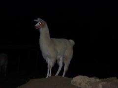 Llouie Llama