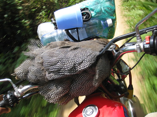 guinea fowl on the handlebars