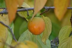 Asian Persimmons Tree (Diospyros kaki), Fruit (Arboreal Boids) Tags: plant tree leaves fruit oregon gods botany horticulture diospyros diospyroskaki asianpersimmon