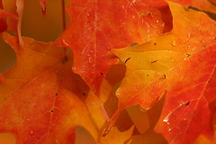 autumn's dew (Five eyes) Tags: november autumn trees red orange fall texture nature wet colors leaves rain yellow yard dof bokeh neighborhood foliage waterdrops dimension 2008 6541 pfogold