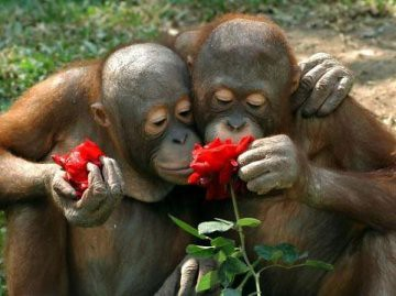 chimp-smell-roses.jpg 360