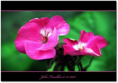 Pink Geranium (bonksie61) Tags: pink white green canon framed oneofakind geranium canoneosdigitalrebelxt picnik naturesbest signed ithinkthisisart almostanything novaphoto onewordwow thisfeelsgood flowerstreesfoliage