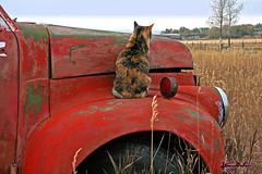 truck kitty (artfilmusic) Tags: truck montana kitty