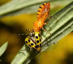 Cucumber Slurpee (DrPhotoMoto) Tags: orange yellow nc assassinbug cucumberbug reduviidae pselliopus macrolife harpactorinae orangeassassinbug 37moto pselliopusbarberi preyandpredator