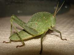 Blue spots in the Green (Andregm.bio I) Tags: macro insect inseto orthoptera macrophotography gafanhoto grilo macrofotografia grasshoper acrididae caelifera
