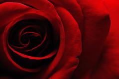 [フリー画像] [花/フラワー] [薔薇/バラ] [レッド/花] [赤色/レッド]       [フリー素材]