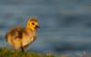 Gosling: Yawwwn (mbaglole) Tags: park baby geese nikon sb600 andrew goose 300mm tele hayden gosling nikkor f4 teleconverter afs andrewhaydenpark babygoose d90 nikonsb600 tc14e nikon300mm nikon300mmf4 nikond90 nikonteleconverter nikon14x