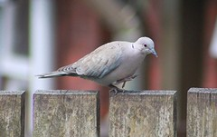 Collared Dove On Garden Fence (aaron_nikon_photography) Tags: summer cloud dog house tree bird dogs nature birds june fence garden lunch spring labrador cloudy dove wildlife air flight young saturday feeder starling sparrow feed juvenile mid collared leylandii