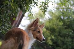 IMG_2244 (presidentreagan1796) Tags: dog cute beautiful puppy outside nashville sheltie cutie bullet