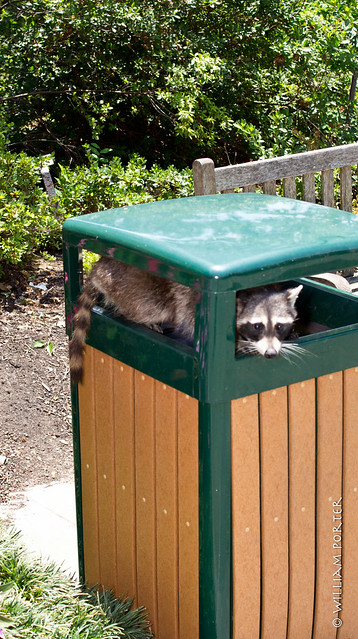 Raccoon at the Arboretum, jumping into the trash