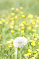 The only one - white and fluffy (Yulia Beylina) Tags: light summer sun white green yellow fluffy blowball