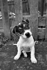 Jackie in B&W (i-marco) Tags: portrait blackandwhite dog pet cute animal puppy jackie terrier jackrussell jackrussellterrier