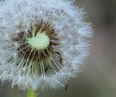 Otherwise Overlooked (WinPins) Tags: flower macro spring dandelion 3waywinner photofaceoffwinner pfogold