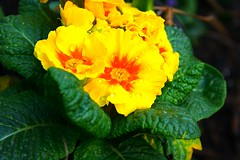 Primula, Very Saturated
