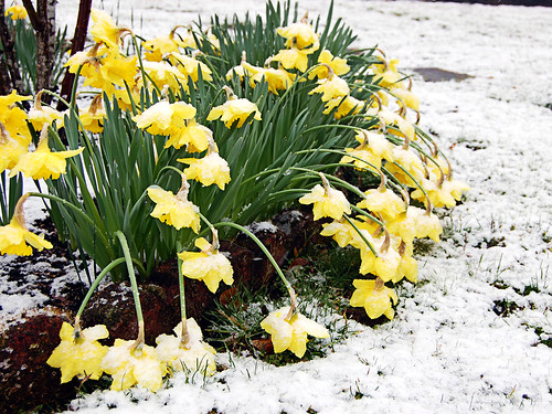 And The Daffodils Wept