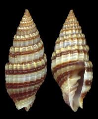 Vexillum amanda (Reeve,1845) - Filippine (giubit) Tags: shells seashells concha gastropoda conchas conchiglie conchiglia coquille schale schalen filippine cascara cascaras costellariidae   vexillumamanda