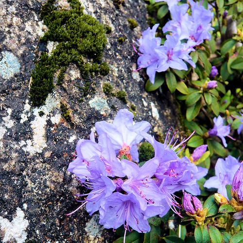 Parc de Maulévrier - Azalée violette