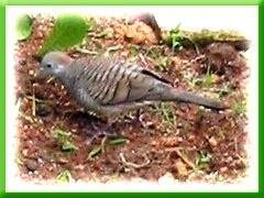 This Geopelia striata (Zebra Dove) was seen sourcing for food at my neighbour's back yard