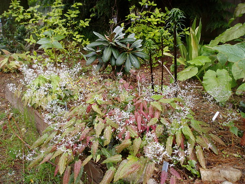 Chinese Woodland Epimediums Rhododendron and Cardiocrinum