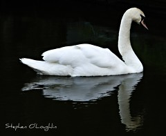 Swan (Steve O'Loughlin) Tags: nature swan knowle digitalcameraclub blackwhitephotos abigfave bigpicture2008