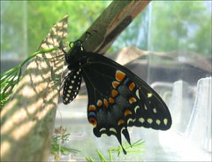 Swallowtail release 05 (spincast1123) Tags: blue orange black macro green nature beautiful yellow closeup digital butterfly insect photography photo illinois interesting wings flickr image picture photograph electronic digitalphoto released digitalphotography copywrite blackswallowtail mchenrycounty overwinter wowiekazowie onlythebestare spincast1123 electronicimage copywriteprotected