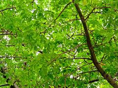 Llegó (.Bambo.) Tags: tree verde green primavera hojas spring árbol música printemps esperanza palabras futuro xirivella canción chorisiainsignis paloborracho lhortasud bombacaceae chorisia musicando inmaserrano árbolbotella aparcamientoestaciónlalter