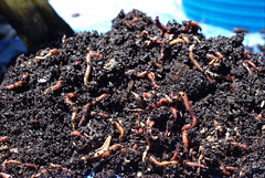 2008-06-08 Worms (rosepetal236) Tags: soil worm worms compost redwigglers