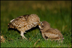 Have this my sweetheart.. (metaphors) Tags: california usa owl mountainview athenecunicularia burrowingowl avianexcellence vosplusbellesphotos slbfeedingyoung