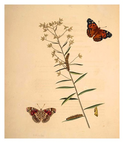 03-Illustration of Papilio Huntera. Gnaphalium Obtusifolium 9
