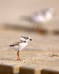 Under/Over The Boardwalk ~ Endangered Piping Plover Chick (William  Dalton) Tags: bird birds plover pipingplover endangeredspecies shorebirds plovers charadriusmelodus featheryfriday pipingploverchick avianexcellence endangeredbirdsnature