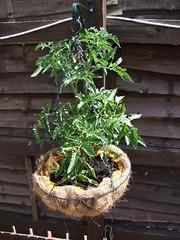 Tomato Plants #4