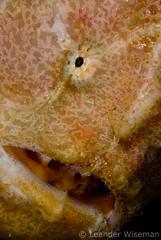 Anglerfish @ Layang Layang (lndr) Tags: ocean sea macro uw water digital nikon marine underwater dive deep scuba diving frog malaysia borneo diver 105 d200 frogfish layang malaysian southchinasea wiseman leander layanglayang angler subaquatic anglerfish subal uwphoto sharkscave portatrait leanderwiseman sharkcave