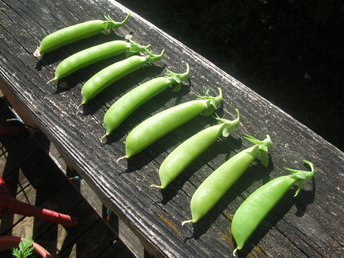 The First Pea Harvest