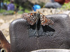Butterfly inspects my boot