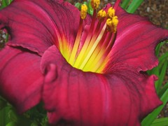 daylily01
