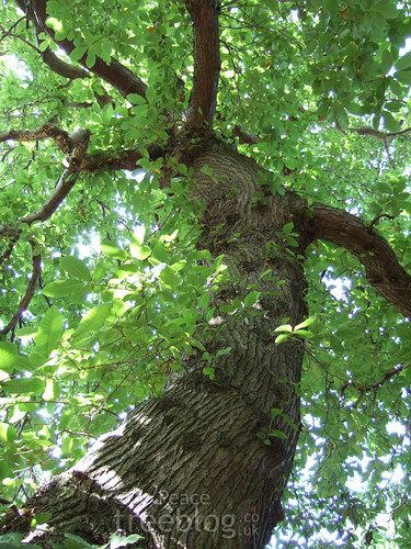 looking up a large sweet chestnut bough