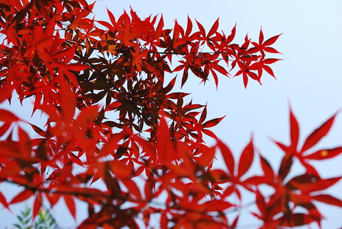 Most Favourite from Japanese Maple Shoot