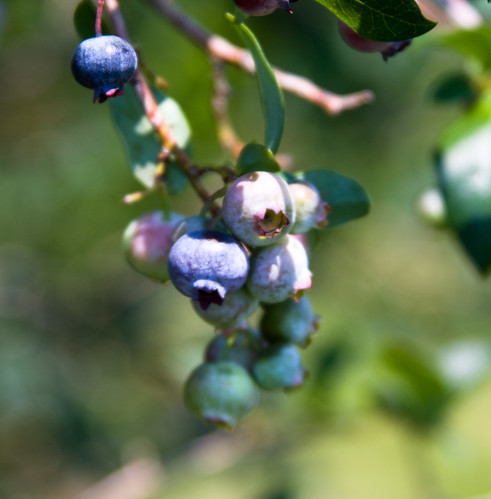 Which Blueberry Is Ripe For The Picking? by you.