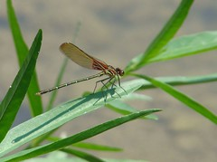 pretty damselfly