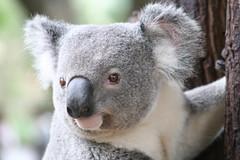 [フリー画像] [動物写真] [哺乳類] [コアラ]        [フリー素材]