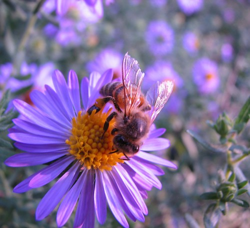 an aster and its honeybee