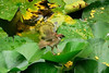 frogsparrow4 (hamidhmz) Tags: پرنده توسط شکار قورباغه