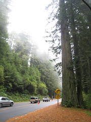 Redwoods and Road Construction (pumpkinsquash) Tags: day22 bigdummyproject