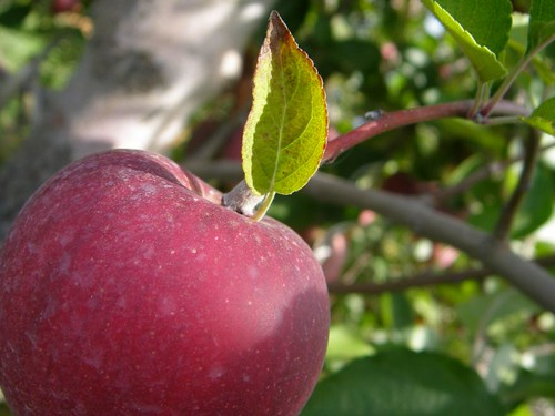 apple picking - winesap
