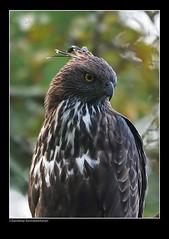 Changeable hawk eagle portrait (Sandeep Somasekharan) Tags: birding eagles raptors birdsofprey accipitridae birdphotography changeablehawkeagle largebirds perchedbirds crestedhawkeaglesandyd80chamarajnagarnikon300mmf4nikon sandyclix