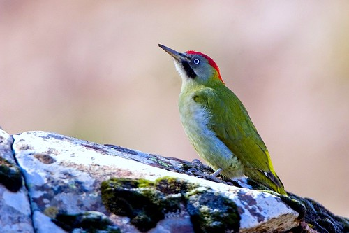 Levaillant's Woodpecker - Oukaimeden Morocco 07_6526-5