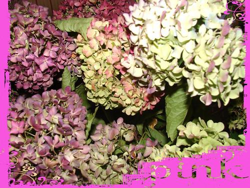 Pink-Hydrangea-2