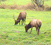 Elk near Elkton, OR 2
