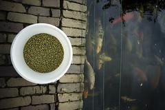 Dinnertime (Arthur van Beveren) Tags: food fish brick water japanese koi coloured vis vissen japans baksteen voedsel karper koikarpers voedertijd koikarper
